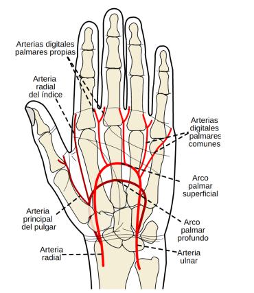 arteria ulnar